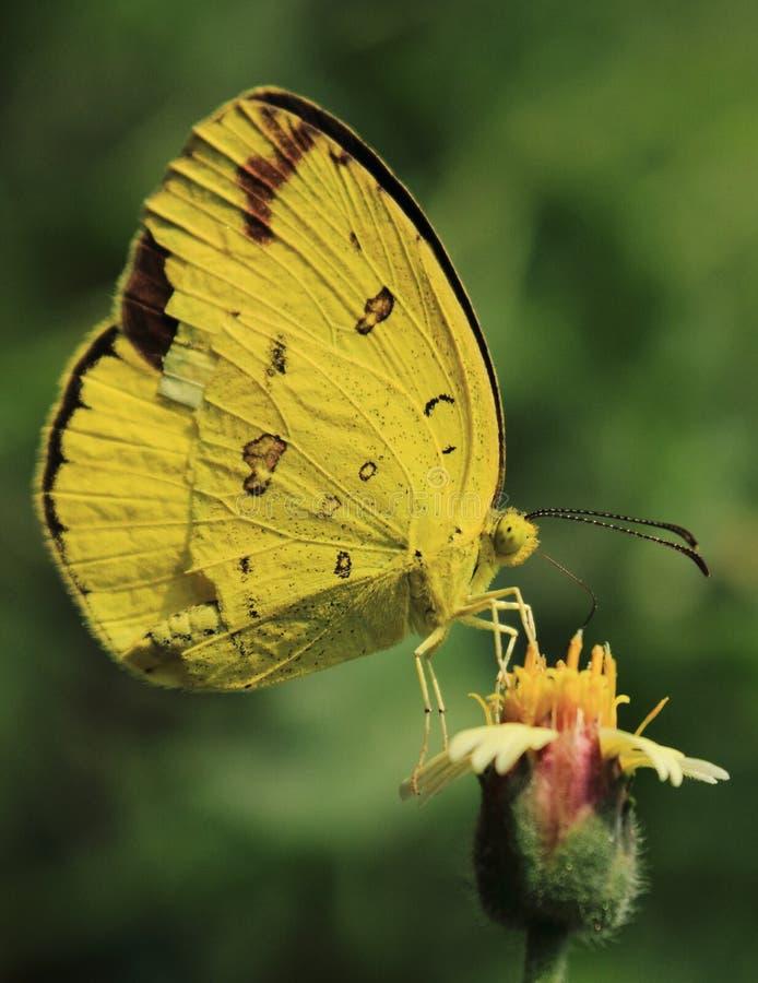 Портрет бабочки чайки на маленьком цветке стоковые фотографии rf