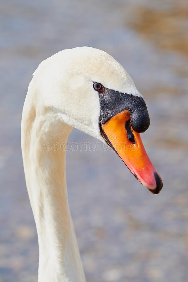 Портрет безмолвного лебедя стоковые изображения