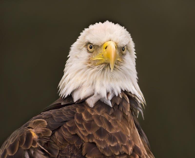 Портрет белоголового орлана плотный стоковое фото rf