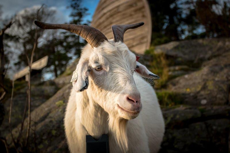 Портрет белой козы фермы стоковое изображение