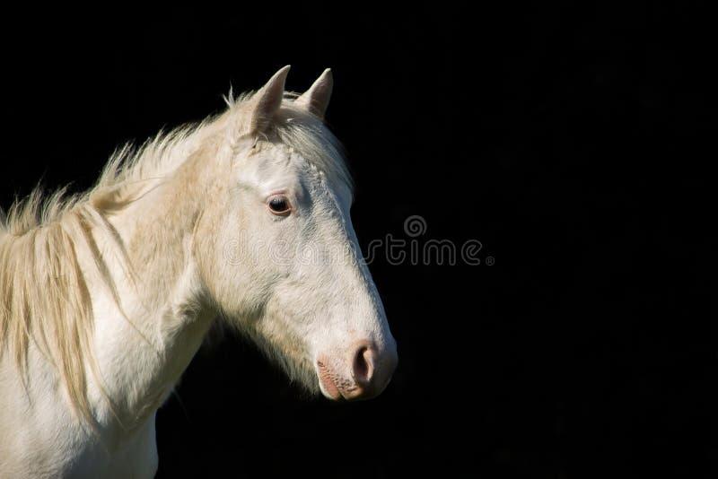 Портрет белой лошади на черной предпосылке контраста стоковое изображение