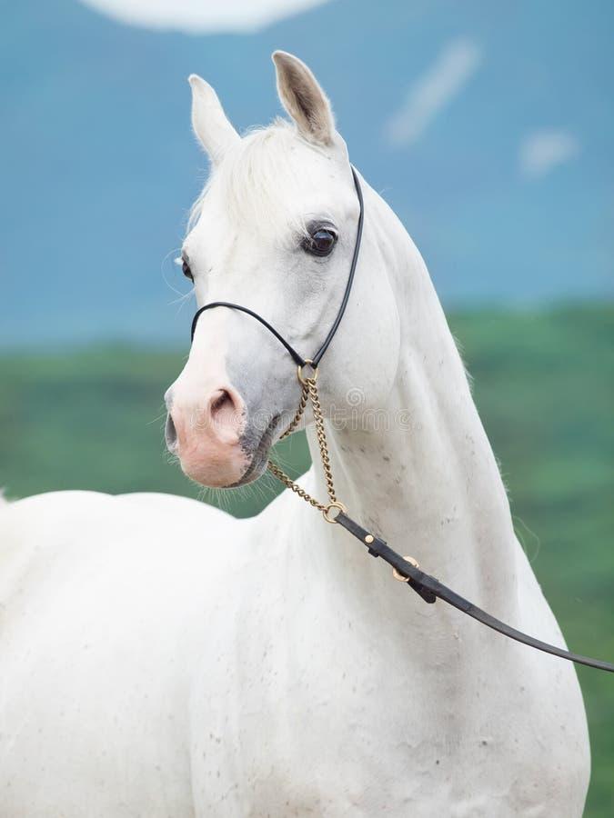 Портрет белого изумительного аравийского жеребца стоковые изображения
