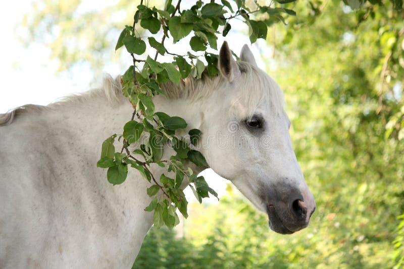 Портрет белой аравийской лошади в саде стоковые изображения rf