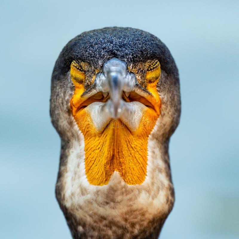 Портрет большего баклана Carbo Phalacrocorax r стоковые фотографии rf
