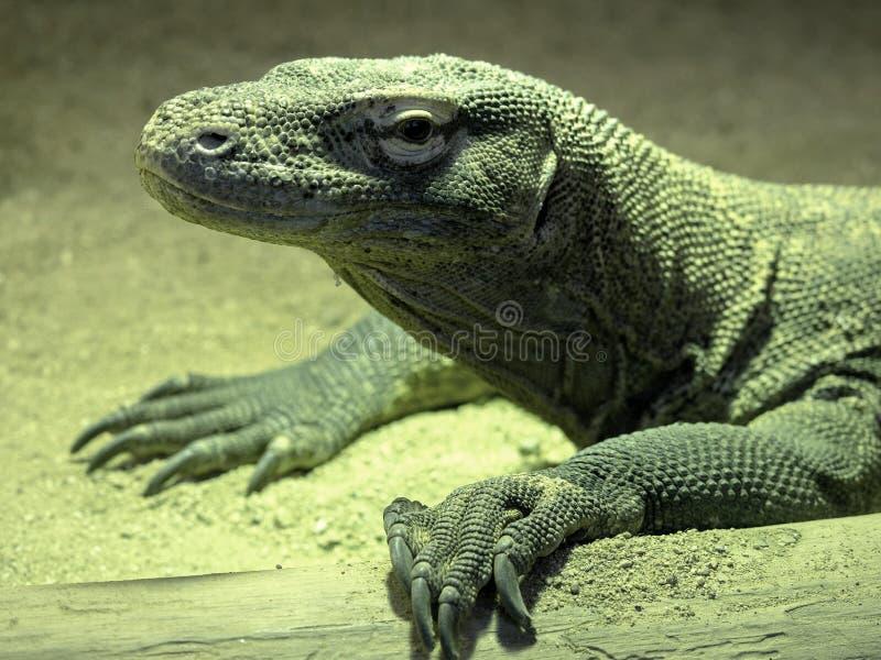 Портрет большого дракона Komodo, komodoensis Varanus стоковые фотографии rf