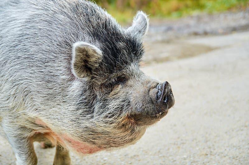 Портрет большой серой свиньи на дороге на природе запачкал предпосылку с космосом экземпляра для текста стоковое изображение