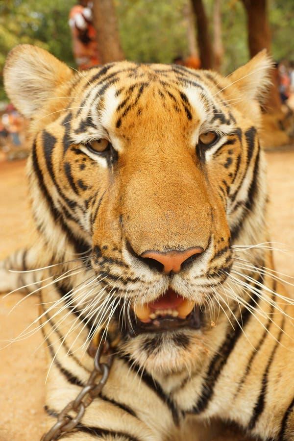 Портрет большого красивого крупного плана тигра стоковая фотография