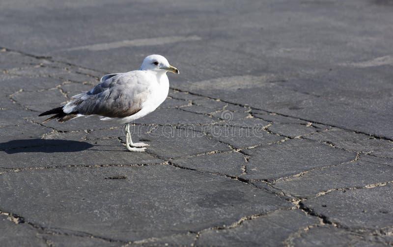 Портрет большой чайки на предпосылке треснутого асфальта стоковое изображение rf