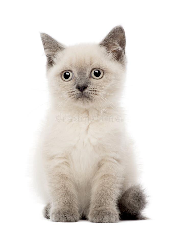 Портрет великобританского усаживания котенка Shorthair стоковые изображения rf