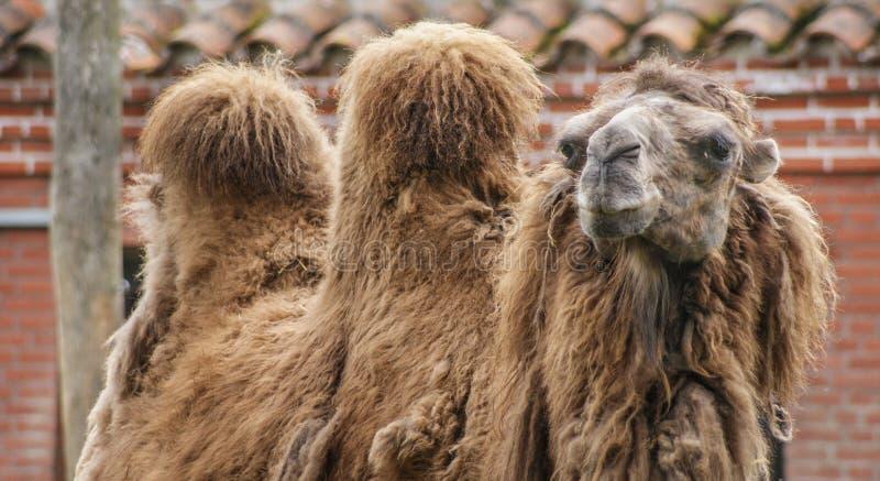 Портрет верблюда стоковое фото