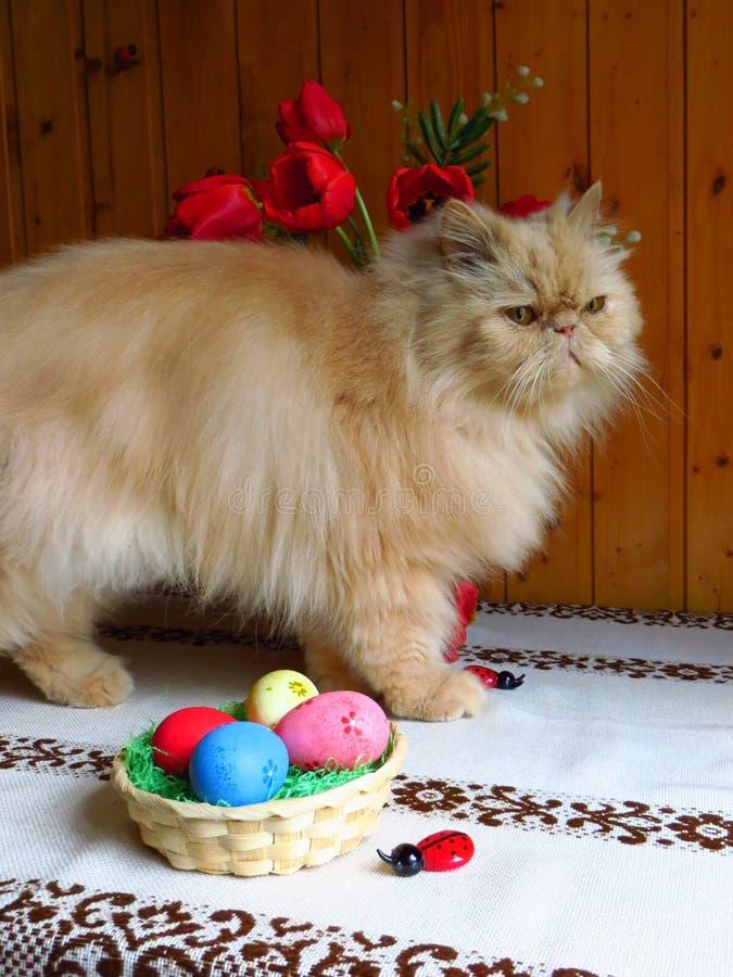 Портрет взрослого персидского кота сидя на кухонном столе стоковое фото