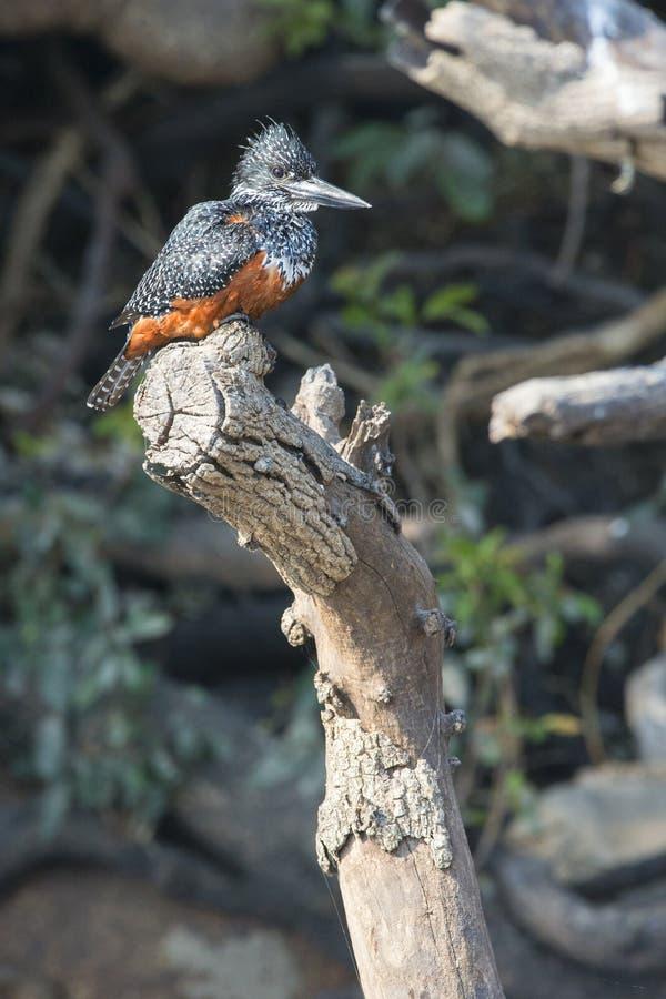Портрет гигантского kingfisher стоковая фотография