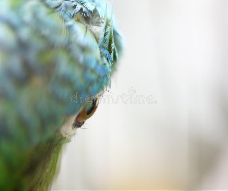 Портрет глаза попугая конца-вверх стоковые изображения