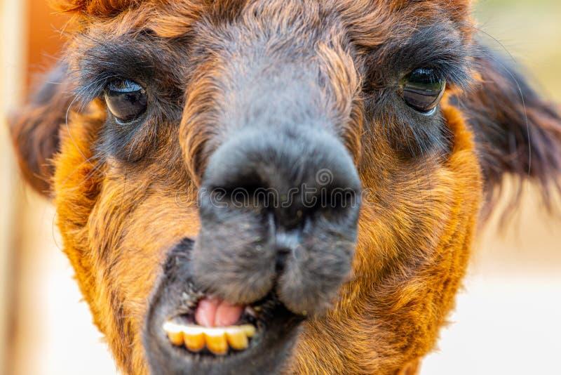 Портрет головы альпаки Брауна с движением челюсти стоковые фото