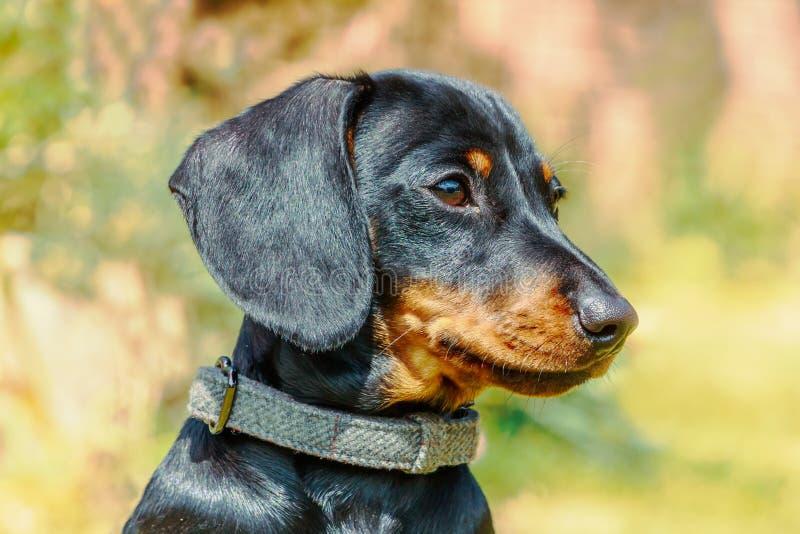 Портрет головы таксы щенка миниатюрной, короткой с волосами черноты и загореть с красивым сияющим лоснистым пальто снаружи стоковая фотография