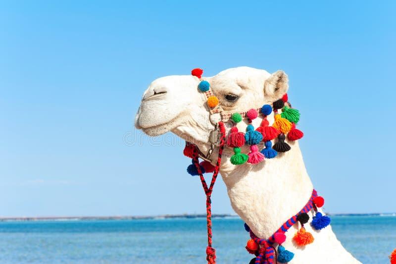 Портрет гордой белой головы верблюда Dromedarius Camelus стоковые фотографии rf