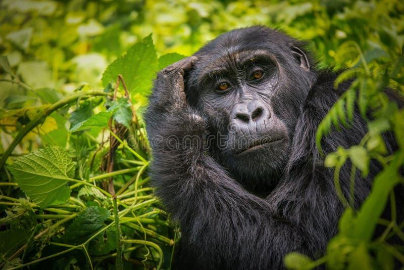 Портрет гориллы горы стоковая фотография