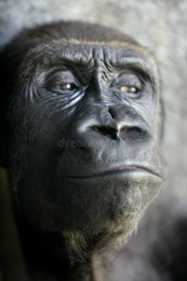 портрет гориллы обезьяны близкий вверх стоковые фото