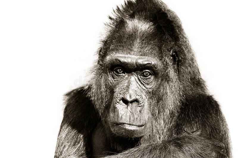 Портрет гориллы черно-белый Смотреть вытаращиться гориллы прямо в портрет объектива фотоаппарата главный изолированный на белой п стоковые фотографии rf