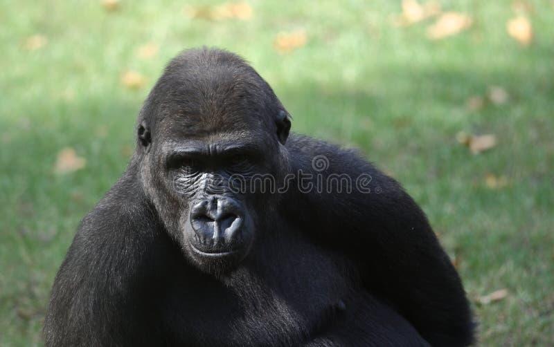 портрет гориллы стоковое изображение