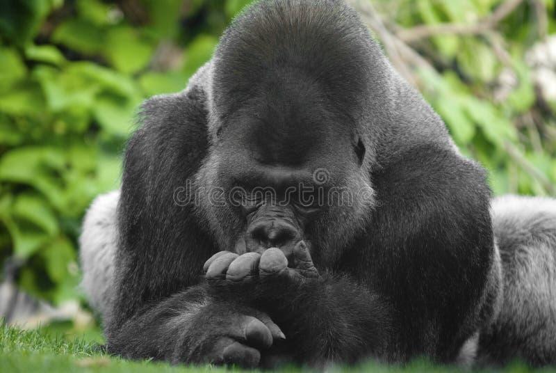 портрет гориллы стоковая фотография rf