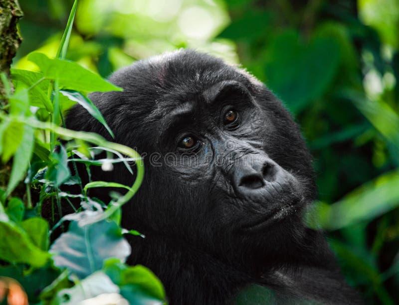 Портрет гориллы горы Уганда Национальный парк леса Bwindi труднопроходимый стоковое фото