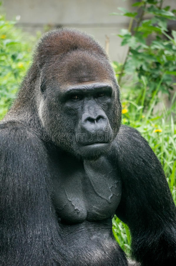 Портрет гориллы и мышца тела стоковая фотография rf