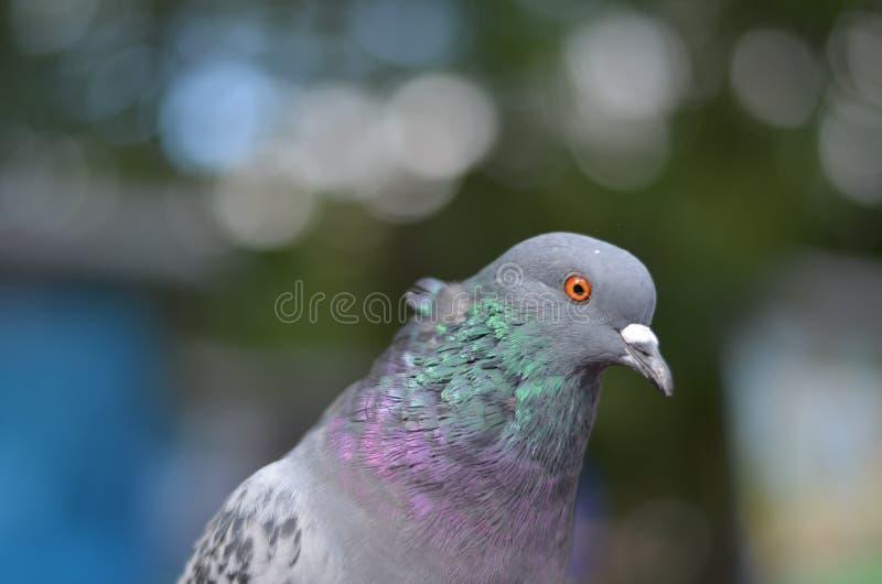 Портрет голубя стоковое фото rf