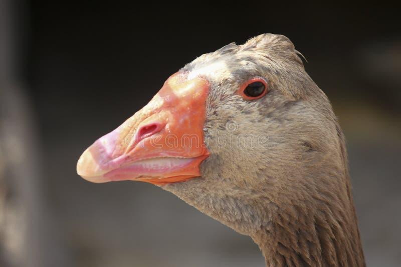 Портрет гусыни Greylag стоковые изображения rf