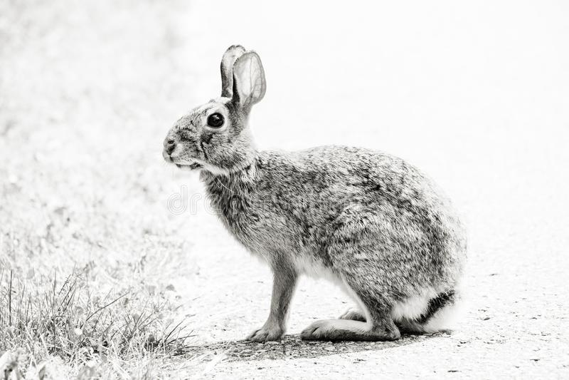 Портрет дикого горячего кролика стоковая фотография rf