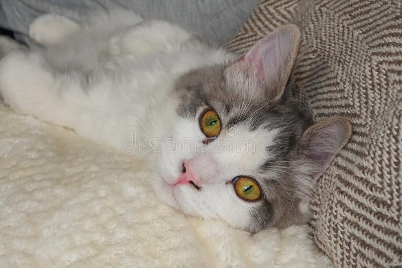 Портрет длинной с волосами домашней кошки Ragamuffin стоковые фото