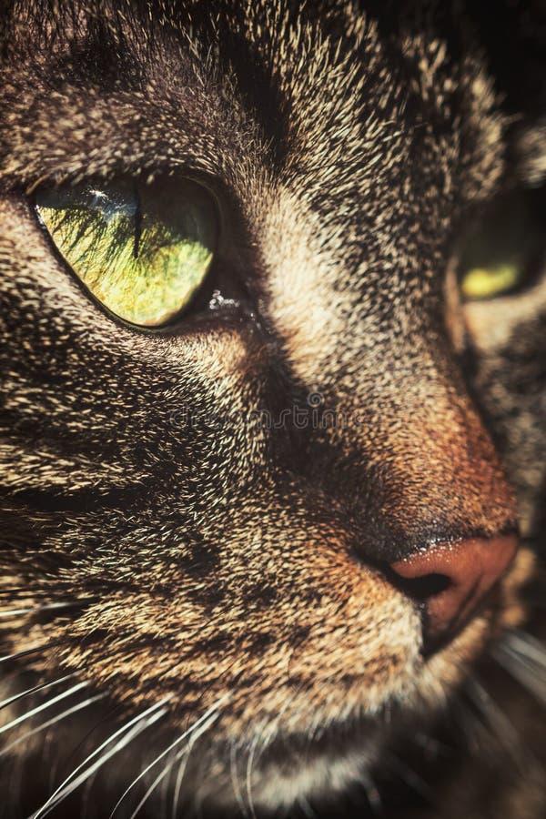 Портрет домашней кошки, европеец Shorthair макроса с tabby стоковые фотографии rf