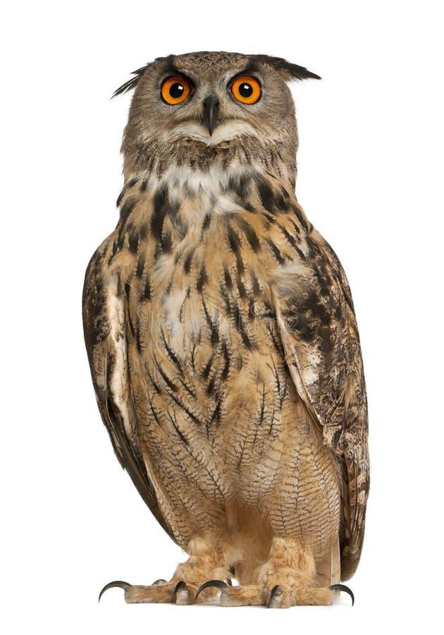 Портрет евроазиатского Орл-сыча, bubo Bubo, вида сыча орла стоковые фото