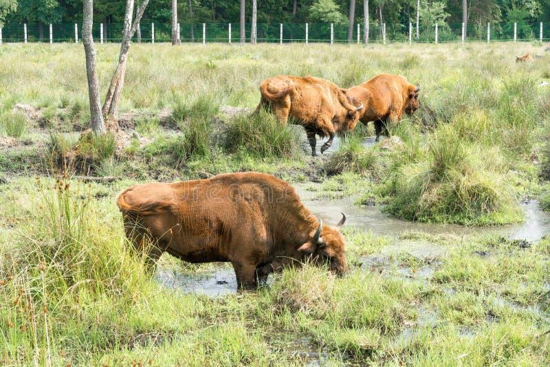 Портрет европейского bonasus бизона бизона Зубр стоковые фото