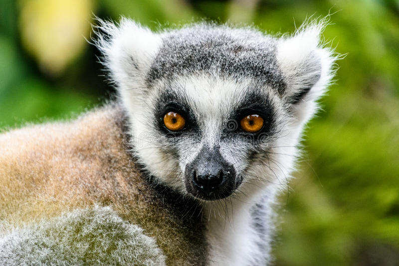 Портрет лемура замкнутого кольцом в Мадагаскаре стоковая фотография
