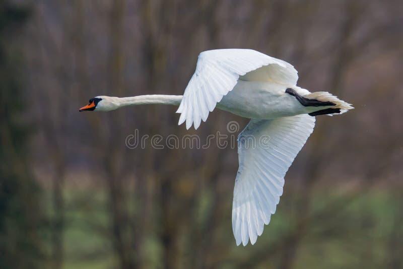 Портрет летать безгласный лебедь (olor Cygnus) стоковое изображение
