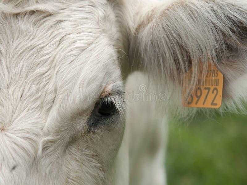 Портрет детали коровы стоковые изображения