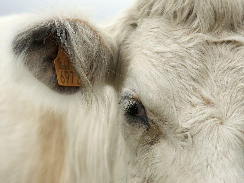 Портрет детали коровы стоковое изображение rf