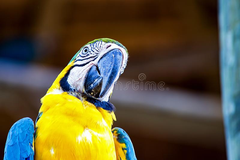 Портрет желтого цвета и голубой ары стоковая фотография rf