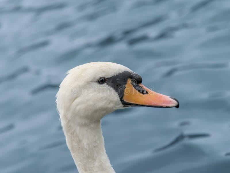 Портрет женского белого заплывания лебедя стоковые изображения rf