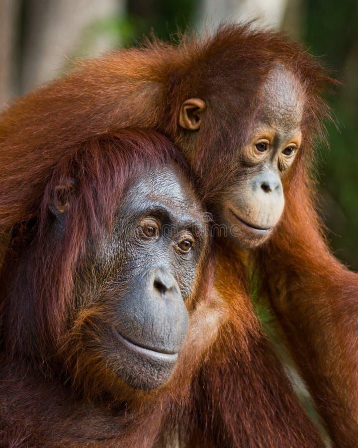 Портрет женского орангутана с младенцем в одичалом Индонезия Остров Kalimantan & x28; Borneo& x29; стоковое изображение rf
