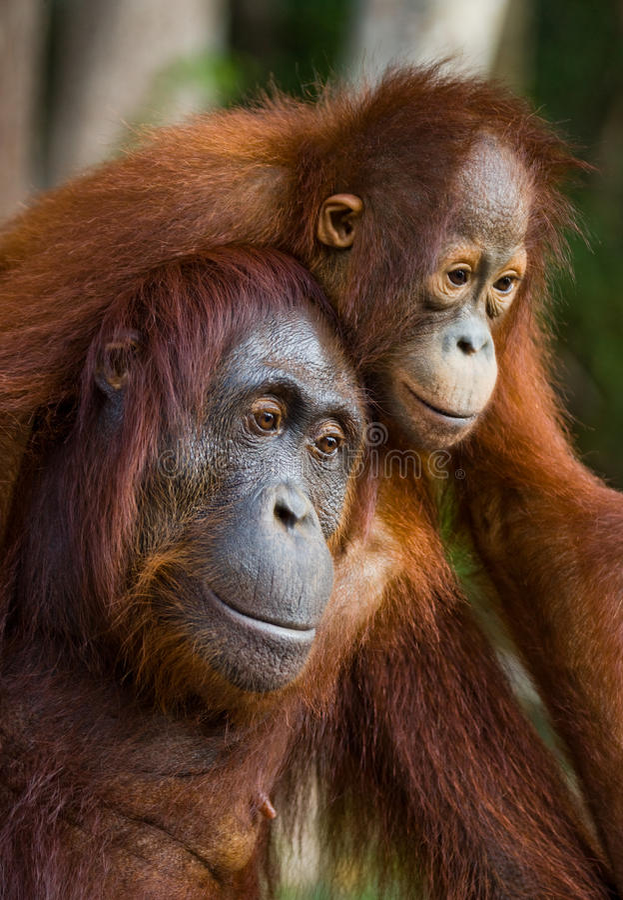 Портрет женского орангутана с младенцем в одичалом Индонезия Остров Kalimantan & x28; Borneo& x29; стоковые изображения rf