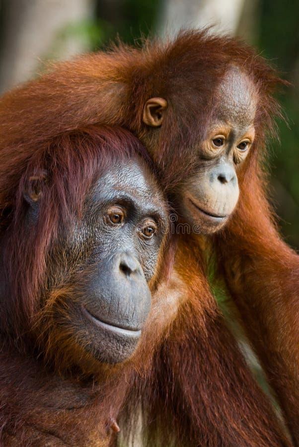 Портрет женского орангутана с младенцем в одичалом Индонезия Остров Kalimantan & x28; Borneo& x29; стоковое изображение