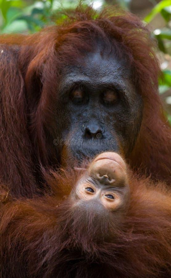Портрет женского орангутана с младенцем в одичалом Индонезия Остров Kalimantan & x28; Borneo& x29; стоковые изображения