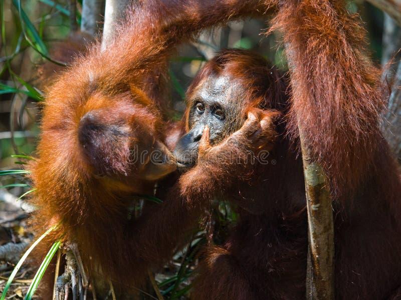 Портрет женского орангутана с младенцем в одичалом Индонезия Остров Kalimantan Борнео стоковое изображение rf