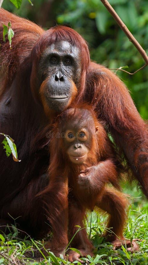 Портрет женского орангутана с младенцем в одичалом Индонезия Остров Kalimantan Борнео стоковые фото