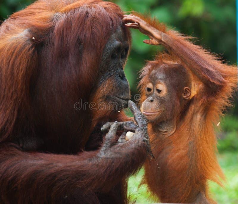Портрет женского орангутана с младенцем в одичалом Индонезия Остров Kalimantan Борнео стоковое изображение