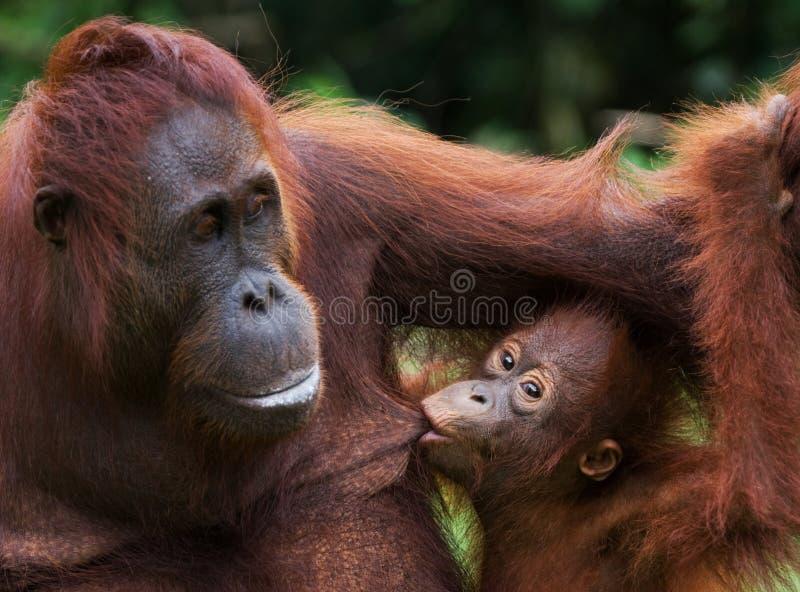 Портрет женского орангутана с младенцем в одичалом Индонезия Остров Kalimantan Борнео стоковое фото rf