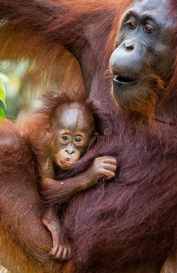 Портрет женского орангутана с младенцем в одичалом Индонезия Остров Kalimantan Борнео стоковое фото