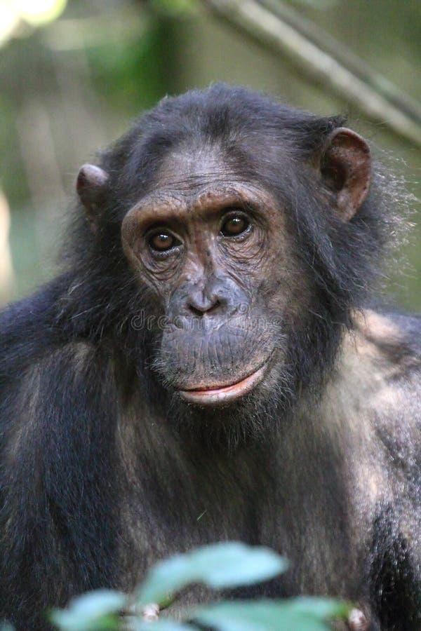 Портрет женского шимпанзе стоковые фотографии rf